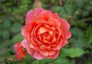 List Of Rose Cultivars Named After People