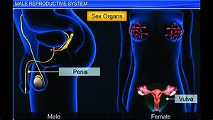 Cbse Class 12 Biology  Human Reproduction  U2013 1  Male