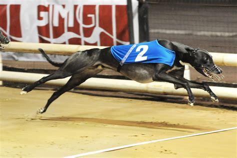 qualty competitve british bred final greyhound star