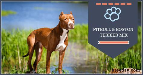 boston terrierpitbull mix  guide  fun facts