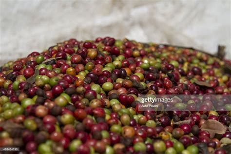 Coffee grown in the hills of chikmagalur is roasted using traditional italian techniques to produce exquisite gourmet coffees assured to elevate the senses. India Wayanad Coffee Beans Stock Photo - Getty Images