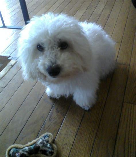 Small White Non Shedding Breeds by Breeds Non Shedding Breeds Small White Dogs Breeds