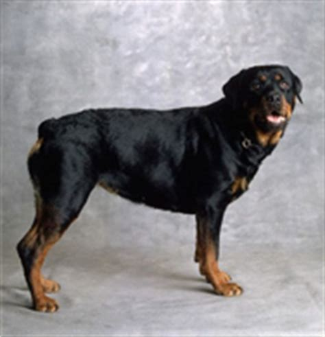 rottweiler information   pictures