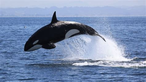 Whales, Dolphins Putting On Spectacular Show In Monterey
