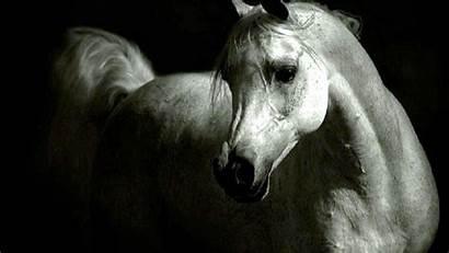 Horse Arabian Desktop Wallpapers Resolution Computer Wiki