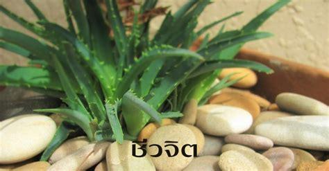 ว่านหางจระเข้ สุดยอดสมุนไพรไทย กินรักษากรดไหลย้อน - ชีวจิต
