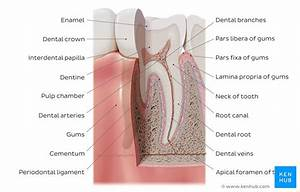 Dental Anatomy Quizzes And Tooth Diagrams