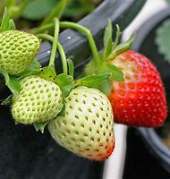 Strawberry From Seed
