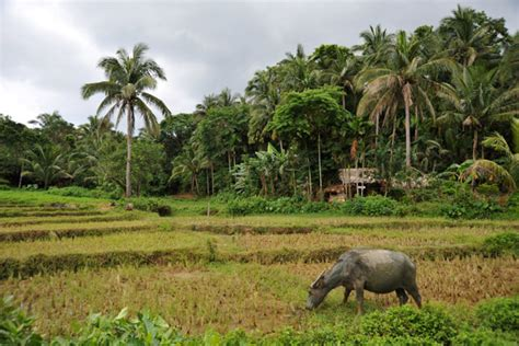 southeast landscaping a typical southeast asian landscape with a water buffalo rice paddies palm trees and thatched