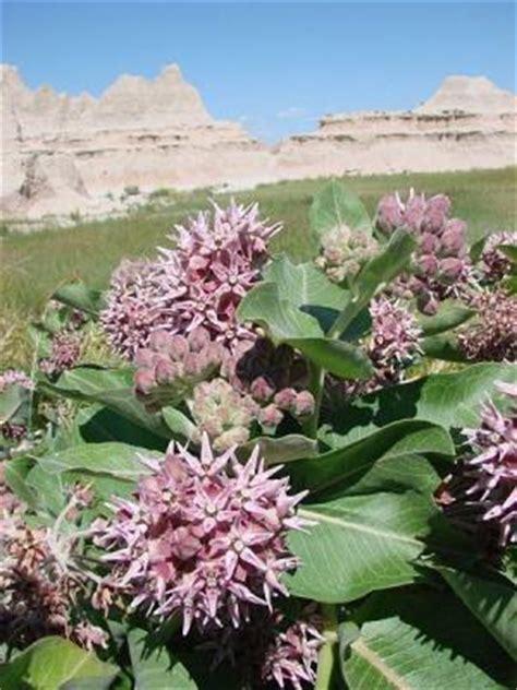 milkweed poisonous plant  pets