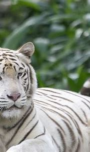 White Tiger Tigers Cat · Free photo on Pixabay