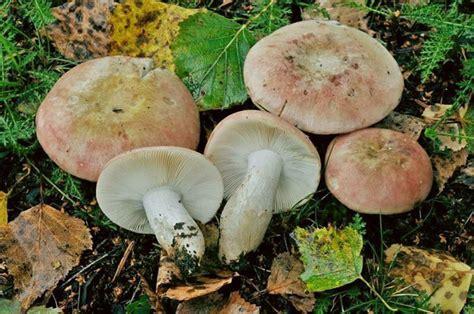Russula exalbicans - gruppo-micologico-crema JimdoPage!