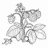 Strawberry Plant Coloring Pages Strawberries Drawing Fruit Printable Getcoloringpages Cute Kiss Getdrawings Getcolorings Print sketch template