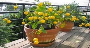 Planter Un Citronnier : planter entretenir un citronnier en pot l 39 astuce du p pin ~ Melissatoandfro.com Idées de Décoration