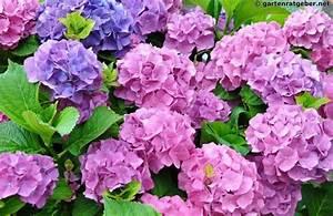 Hortensien überwintern Im Garten : hortensien hydrangea pflege pflanzen schnitt berwintern ~ Frokenaadalensverden.com Haus und Dekorationen