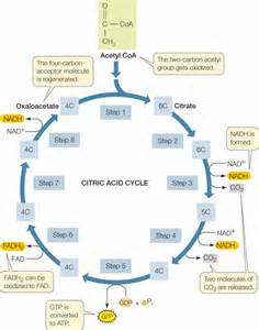 Animal Life Cycles Masteringbiology