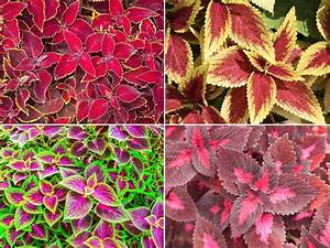 How, To, Grow, The, Colorful, Coleus, Plant, Indoors, And, Out