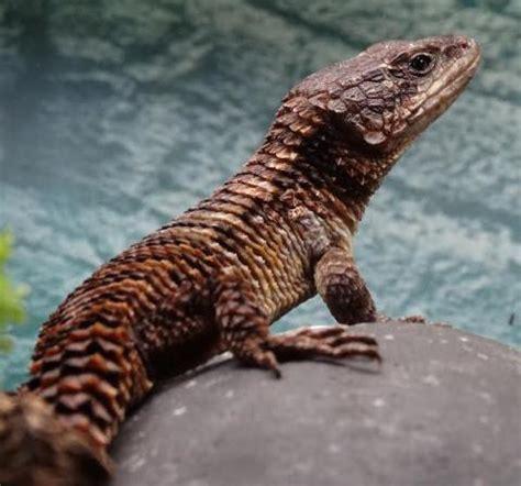 forest armadillo lizards  sale