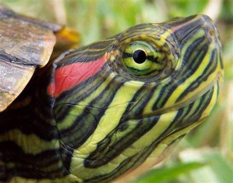 Kura-kura   Kumpulan Gambar
