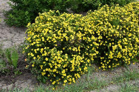 Dakota Sunspot Potentilla (Potentilla fruticosa 'Fargo ...