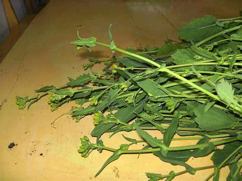 grelos las mejores propiedades de esta planta