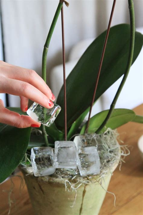 how to care for orchids orchid care on pinterest orchids orchid flowers and rare flowers