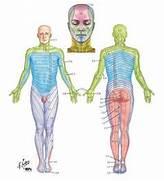 Atlas de anatom  a hum...Dermatomes Netter