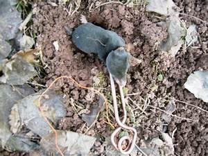 Comment Tuer Un Rat : comment tuer les taupes efficacement taupier sur la france ~ Melissatoandfro.com Idées de Décoration