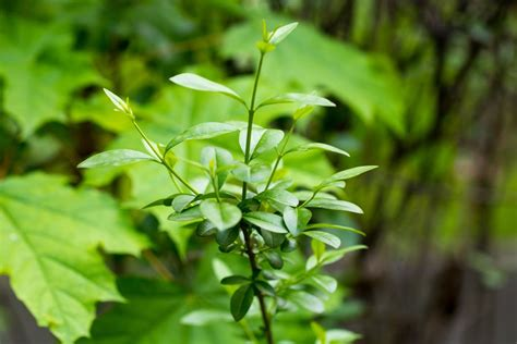 liguster stecklinge ziehen liguster experten tipps zum pflanzen schneiden co plantura
