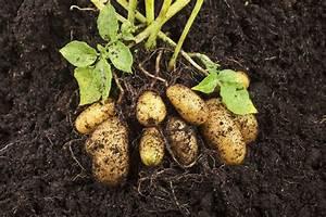 Période Pour Planter Les Pommes De Terre : engrais pomme de terre utilisation et atouts ooreka ~ Melissatoandfro.com Idées de Décoration