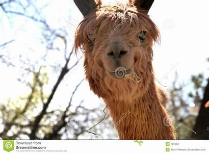 Alpaca Adorable Mouth Animal Dreamstime
