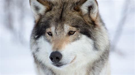 wallpaper siberian husky breed dog hd  animals