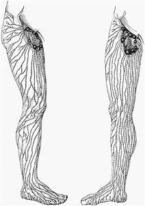 Superficial Lymphatics And Vessels And Nodes Of The Legs