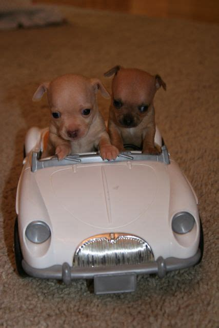 cute puppies driving  toy car luvbat