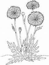 Flower Coloring Pages Marigold Flowers Marigolds Printable sketch template