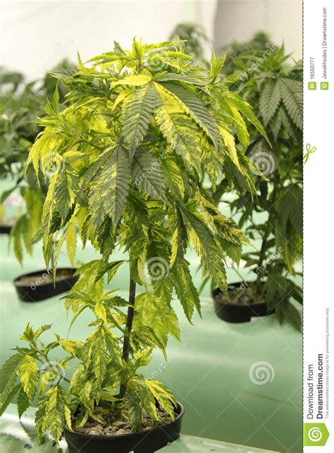 variegated marijuana cannabis plant stock image image
