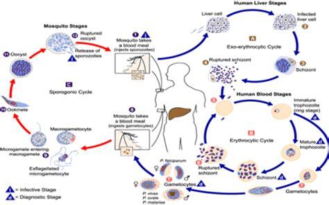 malaria scheda malattia  sintomi cesmetcom