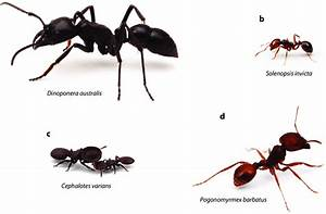 Ant Species With Extreme Contrasts In Colony Size And