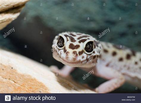 leopard gecko colors gecko nature eublepharis lizard camouflage color