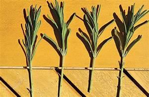 Lavendel Vermehren Wasserglas : lavendel vermehren pflanzen s en pikieren ~ Lizthompson.info Haus und Dekorationen