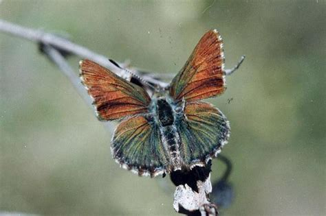 recovery plan   bathurst copper butterfly