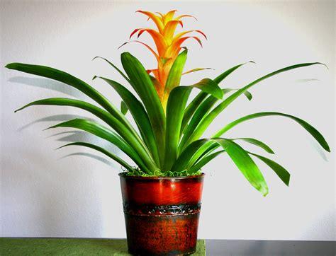 Bromeliad  Broomelaid  Pinterest  Indoor Tropical