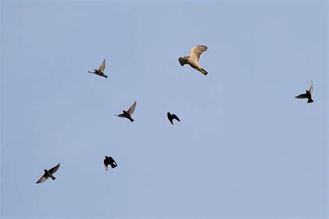 Sparrowhawk hunting starlings/starling_sparrowhawk_2601082962