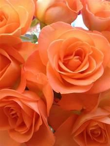 17 best peach rose tattoo images on Pinterest | Beautiful ...
