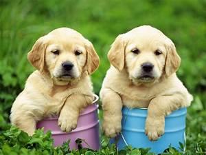 Most Beautiful Dogs  U2013 Labrador Retriever