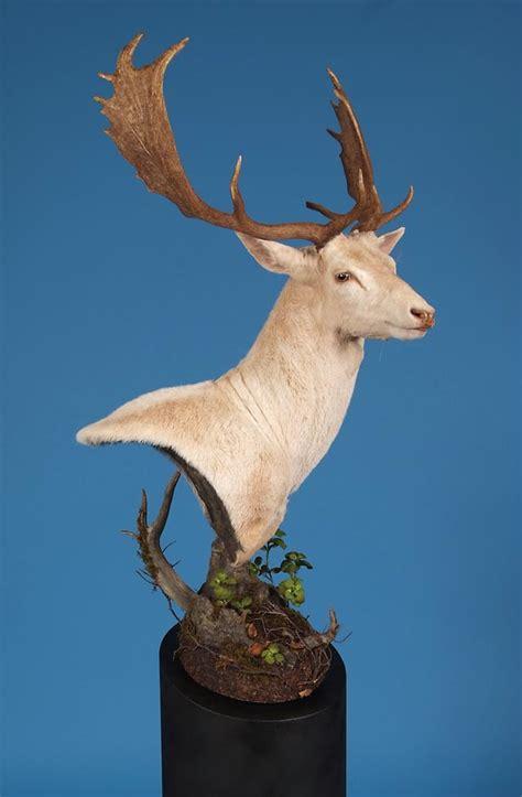 white fallow deer award winner