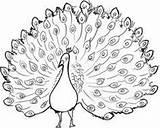 Peacock Outline Glass Painting Drawing Line Drawings Cool Getdrawings sketch template