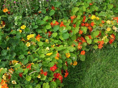 Garden Nasturtium by Garden Recipe Nasturtium And Arugula Salad Eye