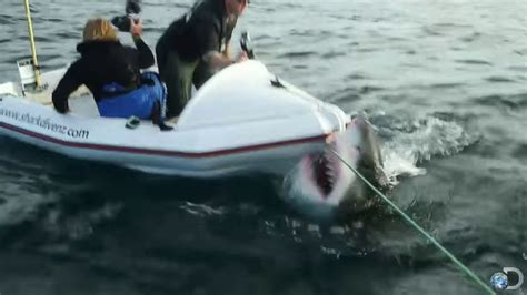 anti cage diving groups  video  great white shark