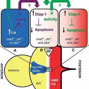 (PDF) Non-cell autonomous control of apoptosis by ligand ...